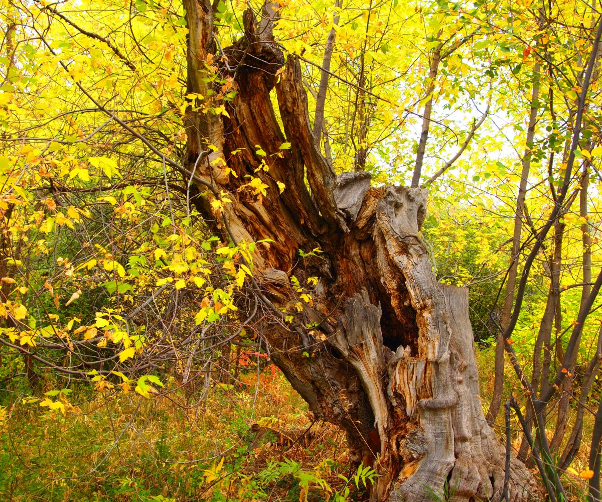Tree with leaves changing along Cascade Springs trail